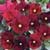 Penny Red w/ Blotch Viola