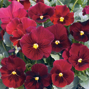 Penny Red w/ Blotch Viola