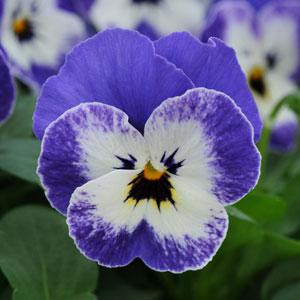 Sorbet XP Delft Blue Viola