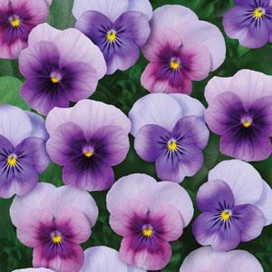 Sorbet XP Beaconberry Mix Viola