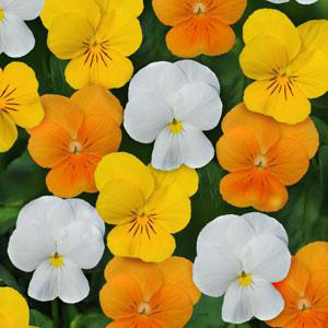 Sorbet XP Citrus Mix Viola