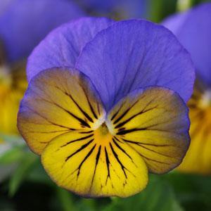 Sorbet XP Morpho Viola