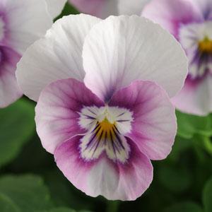 Sorbet XP Pink Halo Viola