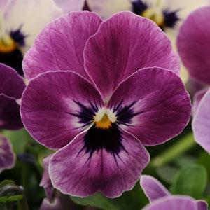 Sorbet XP Raspberry Viola