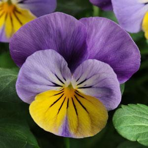 Sorbet XP Yellow Frost Viola