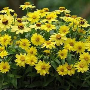 Zahara Yellow Zinnia