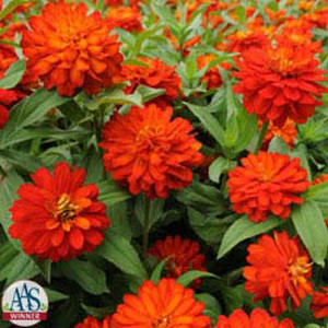 Zahara Double Fire Zinnia
