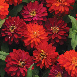 Zahara Double Duo Mix Zinnia