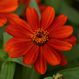 Zahara Red Zinnia