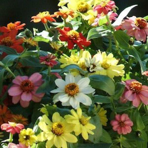 Zahara Mix Zinnia