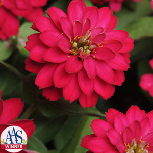 Zahara Double Cherry Zinnia