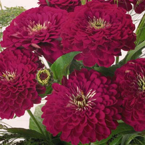 Benary's Giant Wine Zinnia