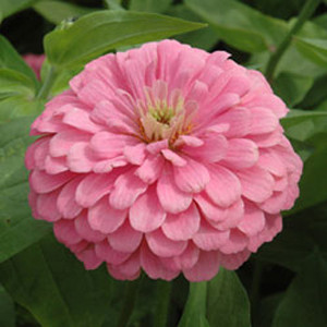 Benary's Giant Bright Pink Zinnia