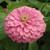 Benary's Giant Bright Pink Zinnia