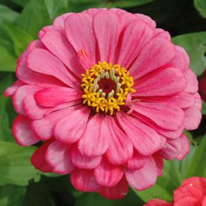 Benary's Giant Carmine Rose Zinnia