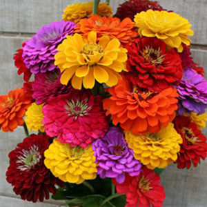 Benary's Giant Mix Zinnia