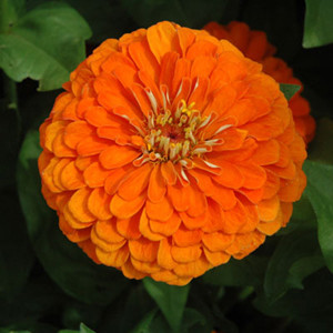 Benary's Giant Orange Zinnia
