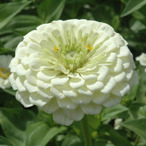 Benary's Giant White Zinnia