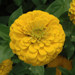 Benary's Giant Golden Yellow Zinnia