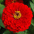 Benary's Giant Scarlet Zinnia
