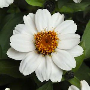 Zahara White Zinnia