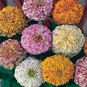 Peppermint Stick Mix Zinnia