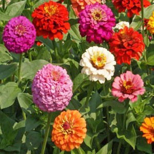 Cut and Come Again Zinnia