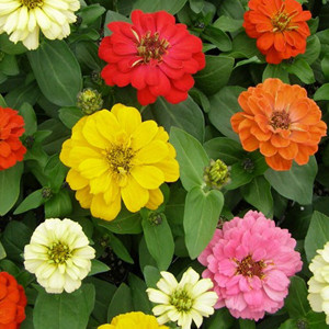 Dreamland Mix Zinnia