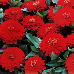 Dreamland Red Zinnia