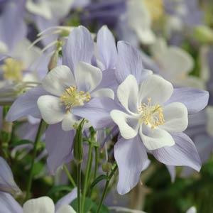 AQUILEGIA SEEDS SONGBIRD BLUEBIRD