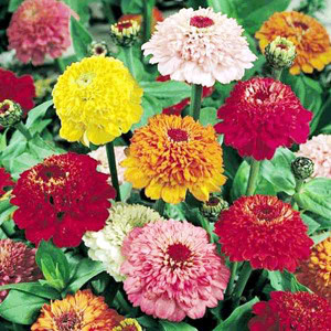Scabiosa Flowered Mix Zinnia