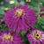 Super Cactus Lilac Emperor Zinnia
