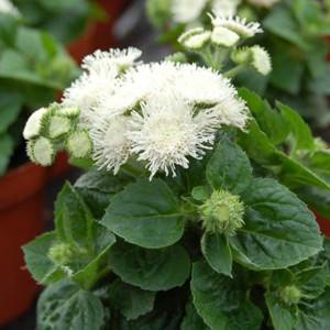 Aloha White Ageratum Seeds