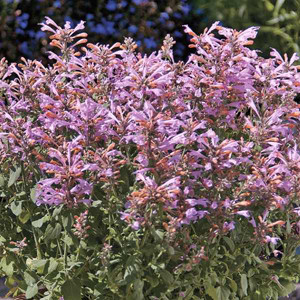 Arizona Sunset Agastache