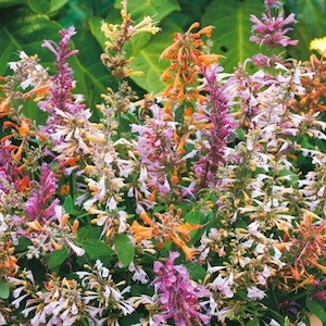 Fragrant Delight Agastache