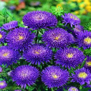 Bonita Blue Aster Seeds