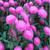 Bonita Pink Aster Seeds