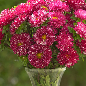 Matsumoto Red Stripe Aster Seeds