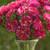 Matsumoto Red Stripe Aster Seeds