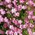 Baby's Breath-Gypsophila-Rose Creeping Repens