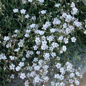 Baby's Breath-Gypsophila-White Creeping Repens