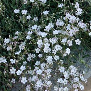 Baby's Breath-Gypsophila-White Creeping Repens