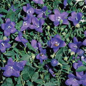 Astra Blue Balloon Flower