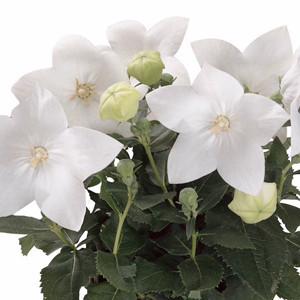 Astra White Balloon Flower