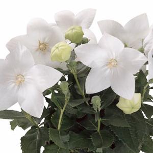 Astra White Balloon Flower