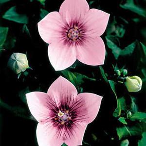 Astra Pink Balloon Flower