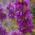 Bergamo Bee Balm (Monarda)