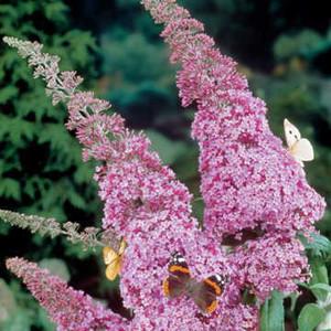 Miss Butterfly Bush