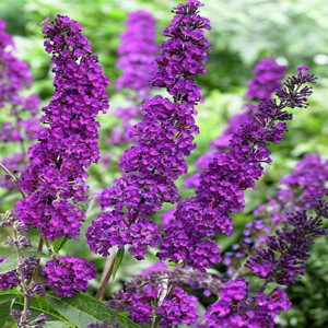 Mr. Purple Butterfly Bush