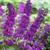 Mr. Purple Butterfly Bush
